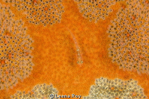 goby on cushion star by Leena Roy